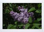 Old Fashioned Purple