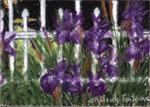 Purple with Envy (Purple Iris) - Print